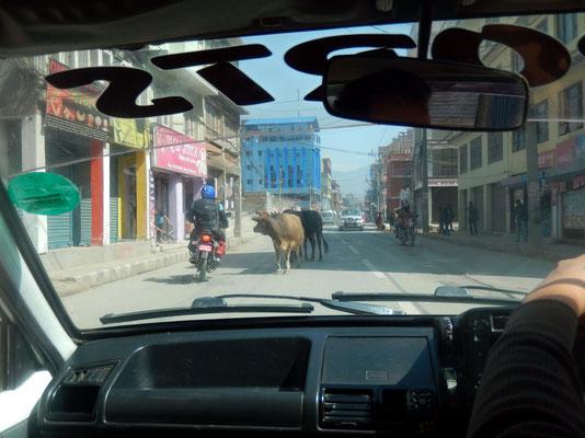 Taxifahrt - Zwischen Kühen