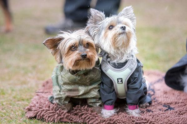 17.03.2018 - Auch im Regen am Trainieren. Aika und Lucy.