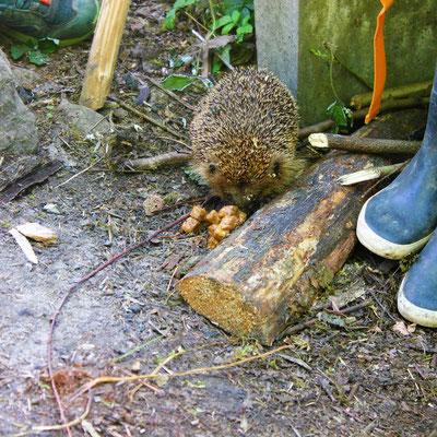 Besuch von einem Igel, Sommercamp Habichtswald