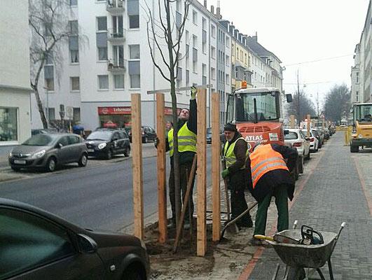 Baumpflanzung in Hannovers Innenstadt.