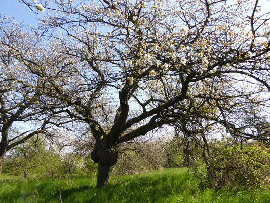 alter Kirschbaum blüht immer noch