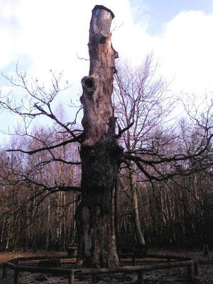 Uralte Traubeneiche, Naturdenkmal bereits 1520 urkundl. erwähnt