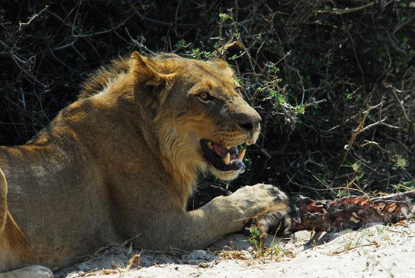 hungriger Löwe am Chobe (BOT)