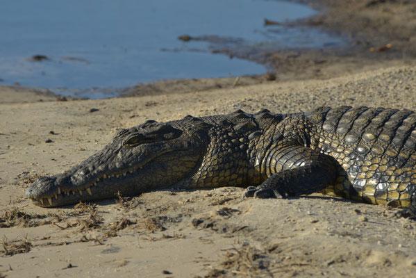 freundliches Krokodil