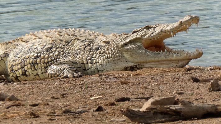 Big Croc am Mandavu Dam, Hwange NP ZIM