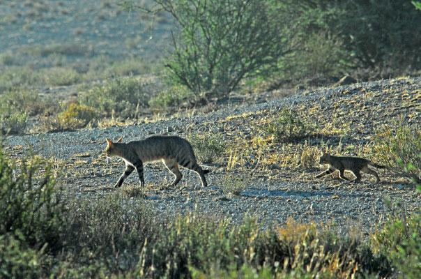 Wildkatze, Kgalagadi