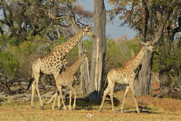 im Giraffenwald in Moremi (BOT)