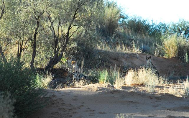 Gepardin mit Nachwuchs, Kgalagadi