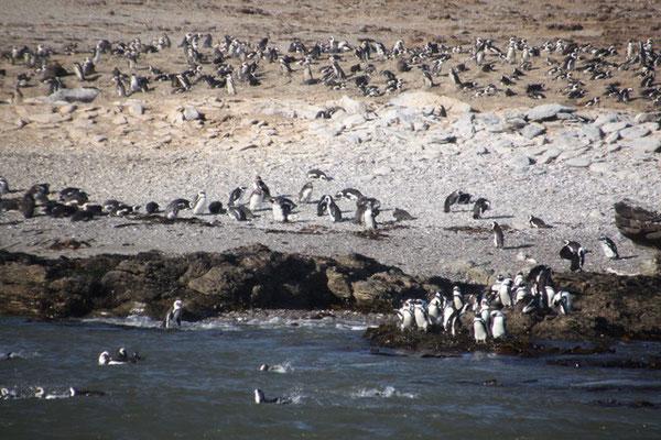 Pinguine in der Nähe von Lüderitz