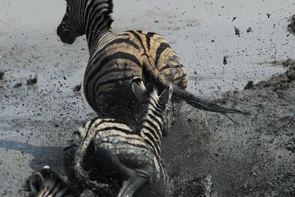 dynamische Zebras