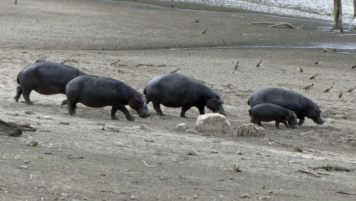 Hippoherde in Düsternbrook