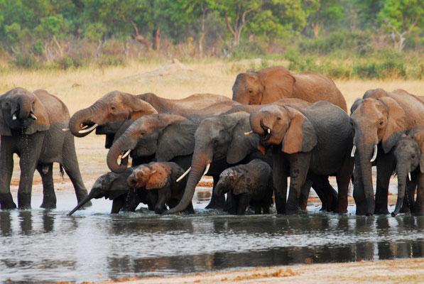 durstige Elefanten in Hwange (ZIM)
