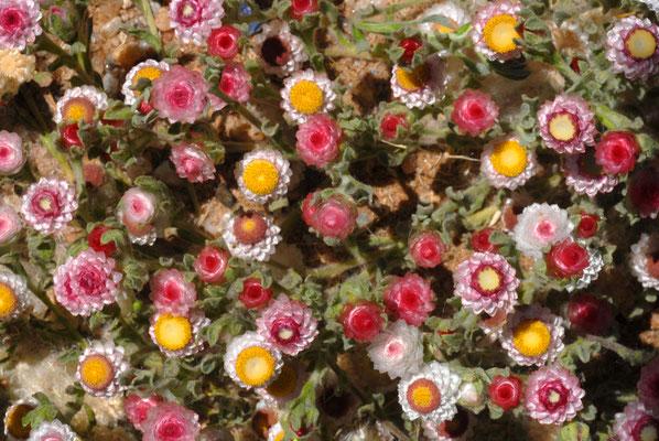 """Südwester Edelweiß"" (Helichrysum roseo niveum) in der Namib"