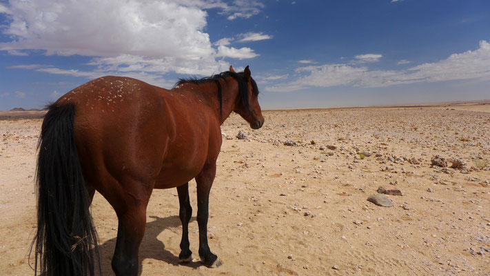 Wüstenpferd
