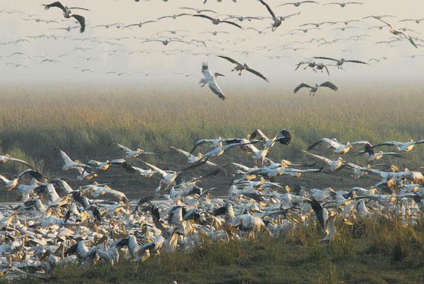 morgendlicher Pelikan-Schwarm (NAM)