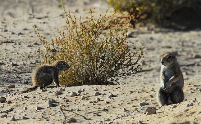 Erdmännchen in der Kalahari