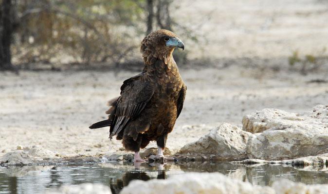 Brauner Schlangenadler, Kgalagadi