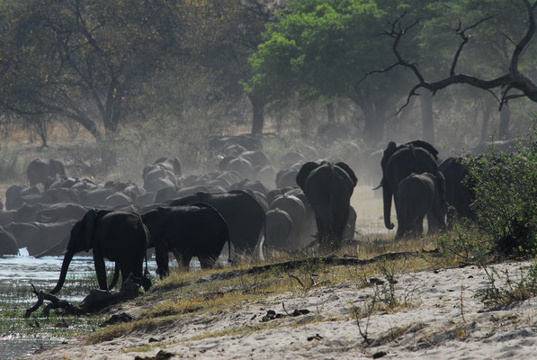 Elefantenherde am Kwando (NAM)