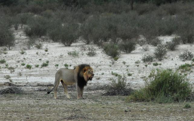 typischer Kalaharilöwe, Kgalagadi
