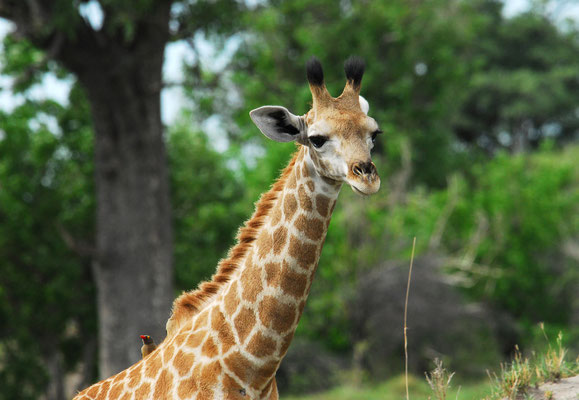 Giraffenkind in Moremi BOT
