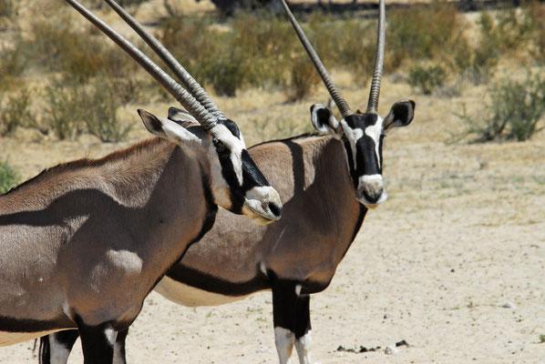 Oryx-Antilopen, Kgalagadi
