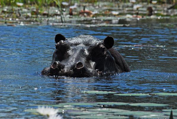 Hippo im Okavango (BOT)