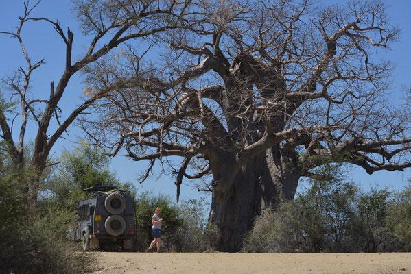 """Big Tree"" - Baobab im Mahango Park (NAM)"