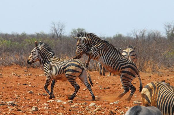 Berg-Zebras in Renostervlei (Etosha)
