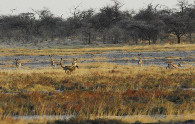 Geparde bei der Jagd