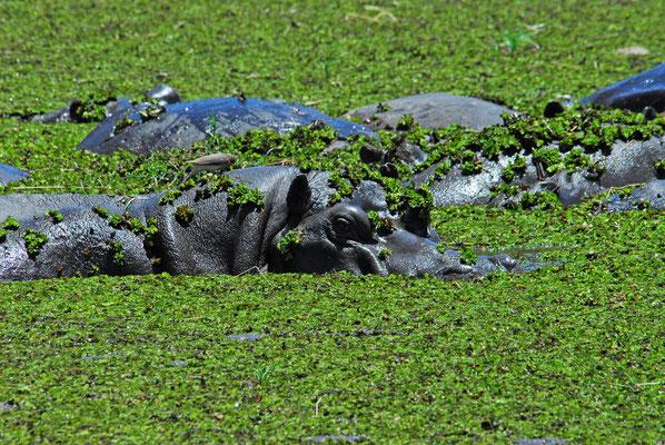 wenig Wasser für die Hippos, Moremi BOT