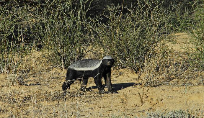 Honigdachs in der Kalahari