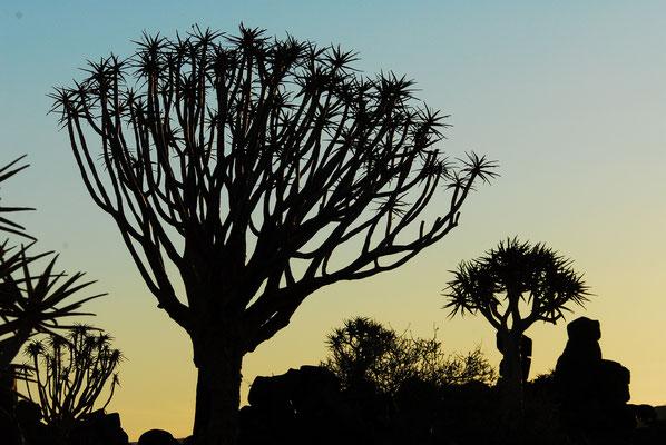 Köcherbäume im Mesosaurus Camp