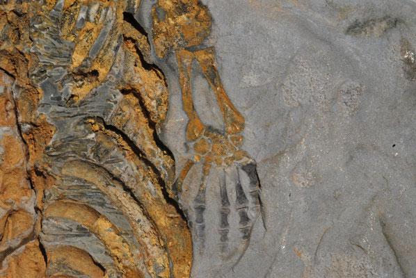 Abdruck des Mesosaurus (s. auch Kalahari)