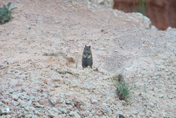 A squirrel at Grand Canyon
