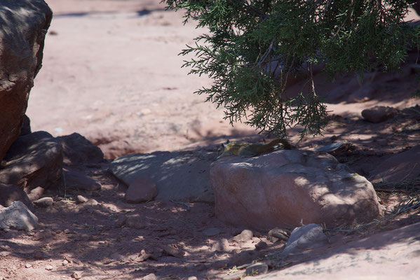 The rest of a squirrel. Canyonlands, USA