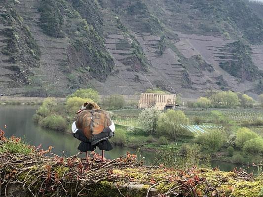 Ente vor der Moselschleife, im Hintergrund die Ruine  vom eh. Kloster Stuben