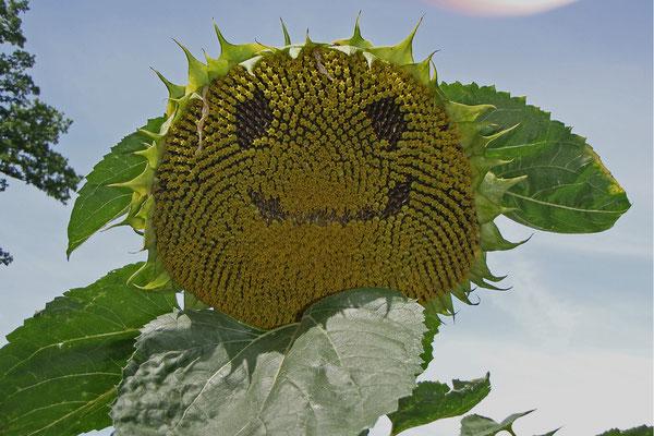 19 Sonnenblume