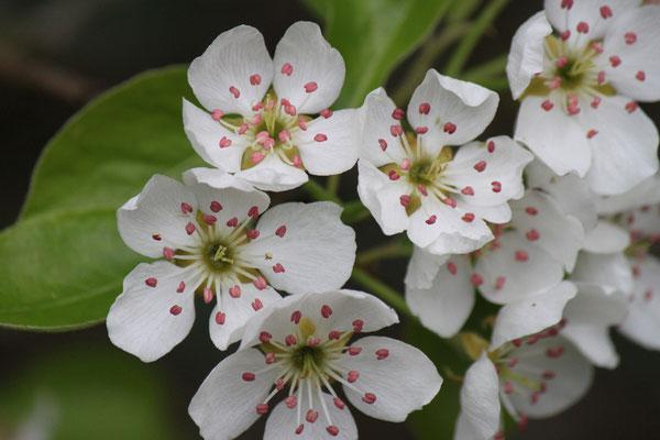 18 Apfelblüten