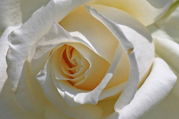 15 Rose weiss