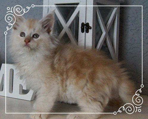 Maine Coon Kitten No Name 9 Wochen