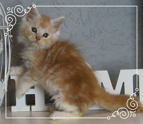 Thunder 9 Wochen Maine Coon Kater