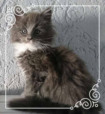 Maine Coon blue white