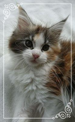 Maine Coon Kitten Enya