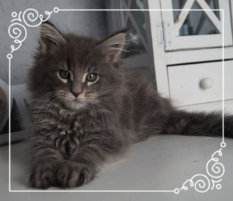 Maine Coon in blue silver tabby