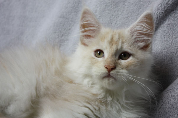 Maine Coon Kater No Name 15 Wochen