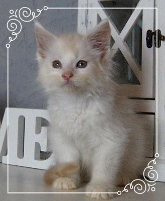 Maine Coon Kitten Iceman 9 Wochen