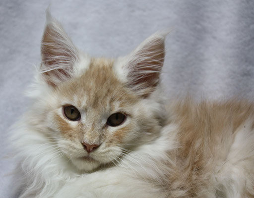 Maine Coon Kater Thunder 15 Wochen