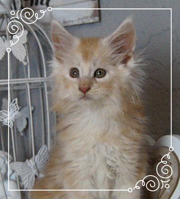 Maine Coon Kitten Conan 9 Wochen