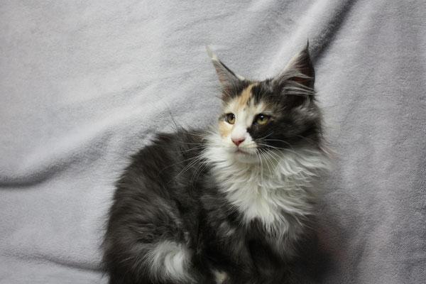 Abgabebereite Maine Coon kitten 15 Wochen alt.