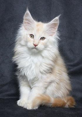 Maine Coon Kitten Conan 11 Wochen